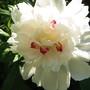 peony (p. lactiflora cultivar)