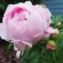peony bud (p. lactiflora cultivar)