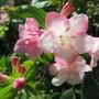 weigela blossoms (Weigela florida (Weigela))