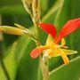 Canna paniculata (Canna brasiliensis)