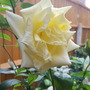 Rose scented