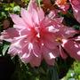 Begonia Trailing.