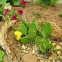 Prickly Pear Cactus (Opuntia)