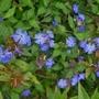Ceratostigma_willmottianum_forest_blue_2017