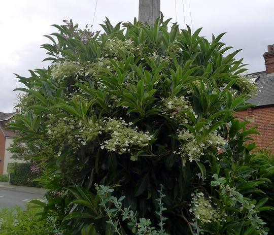 Hydrangea seemanii - 2017 (Hydrangea seemanii)