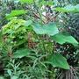Lobelia tupa (Devils Tobacco)