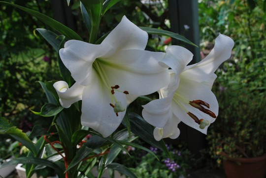 Lilium regale (Lilium regale (Regal lily))