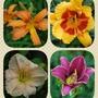 _daylilies....