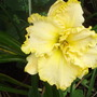 Daylily yellow for my file