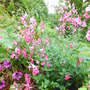Salvia x jamensis 'Pink Lips' (Salvia x jamensis)