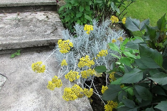 Where is the scent of curry powder coming from?? (Helichrysum italicum (Curry Plant))