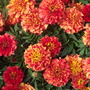 "French Marigold  ""Strawberry Blonde"""