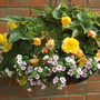 Hanging basket begonias and bacopa