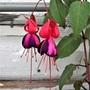 Fuchsia variety 'Blands New Stripe'