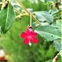 Fuchsia variety 'Isis Lemoine'