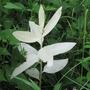 Albinism in plants (Asclepias syriaca (Ipek Fidani))