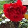 Rose shrub.
