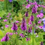 Stachys officinalis 'Hummelo' - a new plant this year. (Stachys officinalis 'Hummelo')