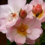 Sea Shell shrub Rose