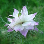 Nigella 'Persian Jewels' - Aug 08 (Nigella damascena (Love-in-a-mist))