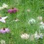 Nigella 'Persian Jewels' - Aug 08 (Nigella damascena (Love-in-a-mist))
