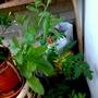 Calendula 'Art Shades' 1st flower to open on balcony 24th June 2017 002 (Calendula)