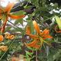 Lilium henryii (update) (Lilium henryi (Lily))