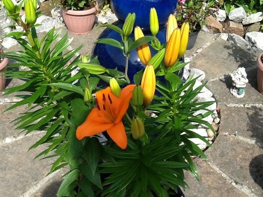 Orange Lilly