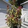 Ficus elastica (Assam Rubber) Ruby.