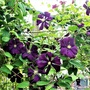 Clematis, variety not known.