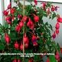 Fuchsia standard (Cerise & purple) flowering on balcony 20th July 2017 (Fuchsia)