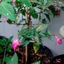 Fuchsia (Pink & mauve) in pot on balcony from outside 15th July 2017 (Fuchsia)