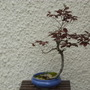 Copper Beech bonsai