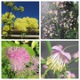 My Thalictrum Collection. (Thalictrum)
