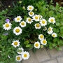 Leucanthemum_little_miss_muffet_2017