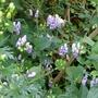 Aconitum_x_cammarum_bicolor_2017