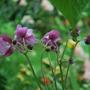 Anemone September Charm? braving this horrendous rain... (Anemone....)