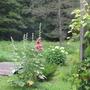 Concord Grape on the garden trellis, hollyhocks, hydrangea at the bridge.
