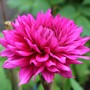 Dahlia 'Hillcrest Royal'