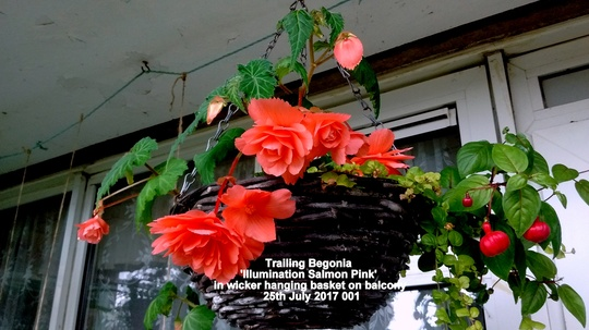 Trailing Begonia 'Illumination Salmon-Pink' in wicker hanging basket on balcony 25th July 2017 001 (Begonia)
