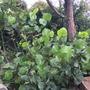 Coccoloba uvifera  - Seagrape (Coccoloba uvifera  - Seagrape)