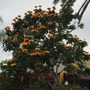 Spathodea campanulata 'Aurea'  - Golden/Yellow African Tulip Tree