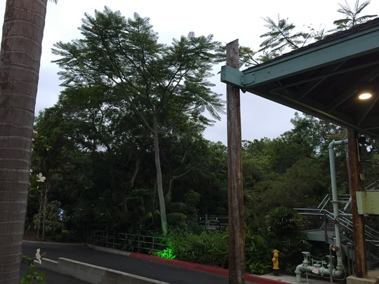 Brazilian Fern Tree - (Schizolobium parahybum) (Schizolobium parahybum)