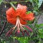Turkscap Lily (Lilium)