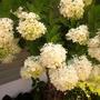Viburnum Opalus (Snowball Bush)