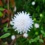 Knautia arvensis forma albiflora - 2017 (Knautia arvensis)