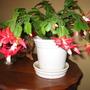 Christmas Cactus 2 years ago ( 05)
