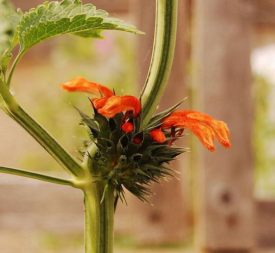 Leonotis nepetifolia (Leonotis nepetifolia (Cordao))