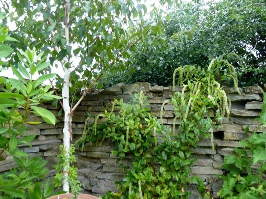 Itea Illicifolia (Holly leaf sweetspire)