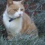My cat in the lavender bush